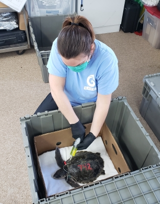 Photo for C.A.R.E. Center to Rehabilitate Cold-Stunned Turtles
